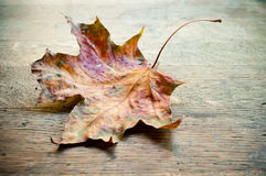 Autumnal  maple leaf Royalty Free Stock Images