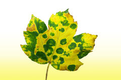 Autumnal maple leaf Stock Images