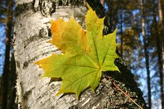 Autumnal maple leaf in forest royalty free stock photography