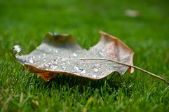 Autumnal  maple leaf on grass Royalty Free Stock Image