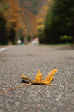 Autumnal maple  leaf on the road Stock Image