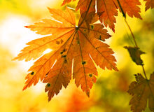 Autumnal maple leaf and sunbeam. Golden foliage, yellow autumn stock photography