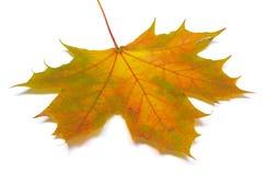 Autumnal maple leaf on white background Stock Photos