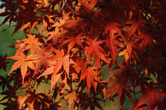 Autumnal Maple Leafs Royalty Free Stock Images