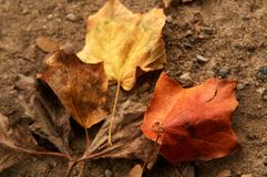 Autumnal maple leaves. Fallen Autumnal maple leaves on brown earth or soil background Royalty Free Stock Images