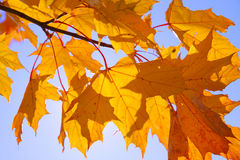 Autumnal maple leaves. Yellow fall maple leafs over the sky royalty free stock photography
