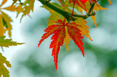 Autumnal maple leaves royalty free stock photography