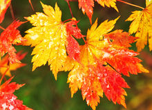 Autumnal maple leaves in blurred background royalty free stock image
