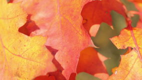 Autumnal maple leaves. In blurred background,,swaying in the wind stock video footage