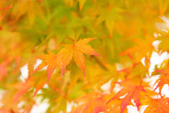 Autumnal maple leaves Stock Image