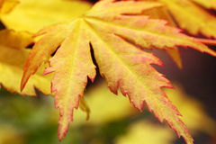 Autumnal maple leaves, close up Stock Photography