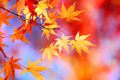 Autumnal maple leaves Stock Photos