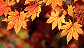 Autumnal maple leaves, fall scene Royalty Free Stock Images