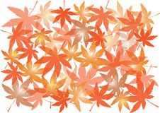 Autumnal maple leaves isolated on white background Stock Images
