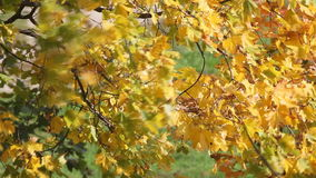 Autumnal maple leaves stock video