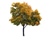 Autumnal maple tree Royalty Free Stock Images