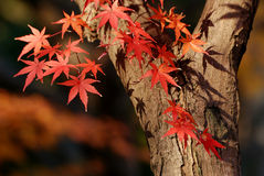 Autumnal maple tree Royalty Free Stock Photo