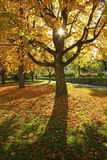 Autumnal maple tree, back lighted Stock Image