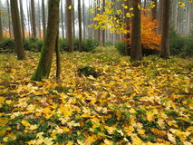 Autumnal maple tree forest floor. Autumnal scenery in the woods with shed maple leaves covering the forest floor. Nature in German woods Royalty Free Stock Image