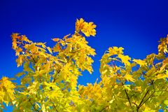 Autumnal Maple tree leaves Royalty Free Stock Photography