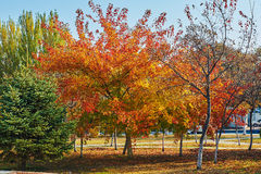 The autumnal maple trees Stock Photo