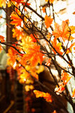 Autumnal marple branches with yellow leaves. Stock Images