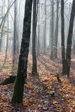 Autumnal misty morning in the forest Stock Photography