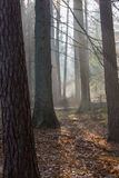 Autumnal misty morning in the forest Royalty Free Stock Photography