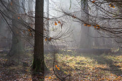 Autumnal misty sunrise in the forest Stock Photos