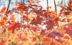 Autumnal mood with colorful leaves. In german deciduous forest royalty free stock photography