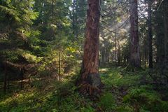 Autumnal morning with sunbeams entering forest Stock Photos