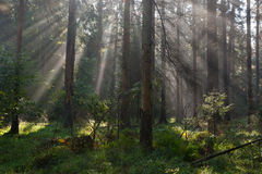 Autumnal morning with sunbeams entering forest Stock Photography