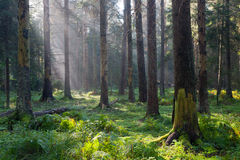 Autumnal morning with sunbeams entering forest Royalty Free Stock Photo