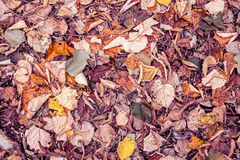 Autumnal multicolor fallen beech leaves on ground Royalty Free Stock Images