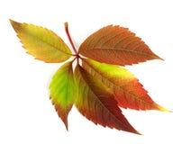 Autumnal multicolor grapes leaf (Parthenocissus quinquefolia fol Stock Image
