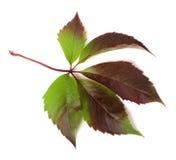 Autumnal multicolor grapes leaf (Parthenocissus quinquefolia fol Royalty Free Stock Image