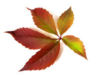 Autumnal multicolor grapes leaf Royalty Free Stock Photography