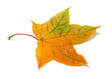 Autumnal multicolor maple-leafs with water drops Stock Photography