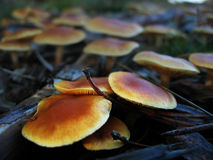 Autumnal Mushrooms. A cluster of small brown autumnal mushrooms on the forest floor Stock Images