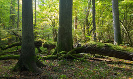 Autumnal natural deciduous forest in morning Royalty Free Stock Photography