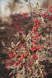 Autumnal nature with berries Stock Images