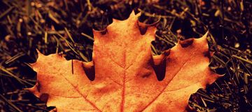 Maple leaf fallen on green grass. Autumnal nature scene with copy space stock photography