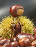 Autumnal nut sat upon its spiky case Royalty Free Stock Image