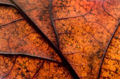 Autumnal Oak Leaf Royalty Free Stock Image