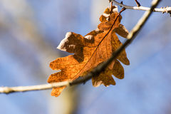 Autumnal oak leaf at the branch against a blue sky, copyspace in Royalty Free Stock Photos
