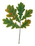 Autumnal oak leaf Royalty Free Stock Photography