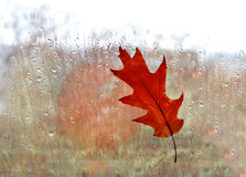Autumnal oak leaf on  window at rain Stock Photo