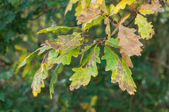 Autumnal Oak leaves in the forest Stock Photography