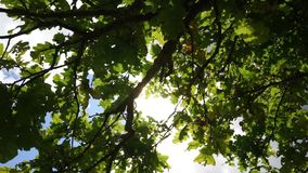 Autumnal Oak Leaves Late summer. Sunbeams. Autumnal Oak Leaves Late summer early autumn sunlight through oak leaves stock video footage