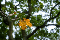 Autumnal oak leaves. Autumnal woodland scene of two beautiful yellow oak leaves ready to fall from a branch in autumn against bokeh background of green folige Stock Image